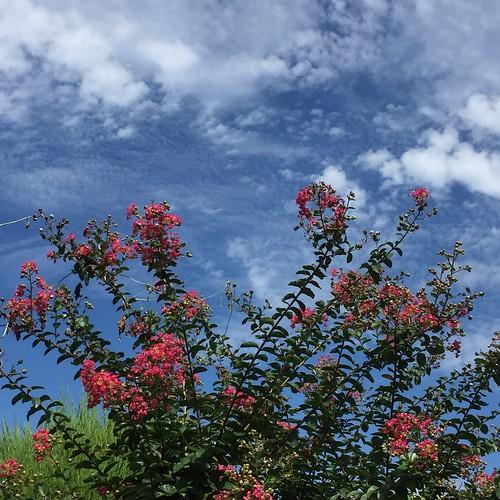 百日紅の花と白い雲