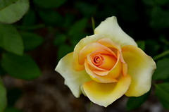 2014-03-25_11-25-42 (J Rutkiewicz) Tags: flower rose garden flora