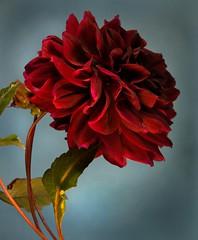 """Red petals"" (juliatedesco) Tags: naturaleza macro flor goldenart"