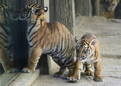 Curious Cubs (Penny Hyde) Tags: cub tiger bigcat sumatrantiger safaripark babyanimal