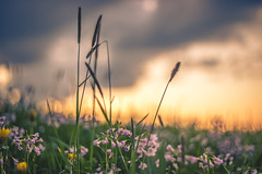 into the wilds - before a rainshower (StadtKind - capture the Bokeh) Tags: flowers light sunset sky plants plant flores fleur germany dawn petals europe dof bokeh sony wiese depthoffield m42 pentacon a7 kempten vintagelens pentacon1850 sonya7