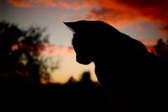Lily watching the sunset (mcg0011) Tags: sunset cute atardecer kitten sonnenuntergang katze puestadesol kot gatita katt hauskatze monchat meinekatze manuelcarrasco