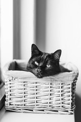 Kat in 't bakkie (WillemijnB) Tags: blackandwhite bw monochrome cat 50mm kat chat basket noiretblanc box indoor saying mand panier bakkie 70d canon70d katintbakkie katinhetbakkie