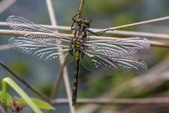 Nordische Moosjungfer (Ruby Whiteface) (oliver_hb) Tags: libelle segellibelle moosjungfer nordischemoosjungfer tisterbauernmoor