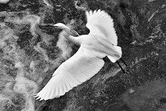 La vie sauvage... the wild life... #Darktable #FujiX-S1 (ImAges ImprObables) Tags: blackandwhite bw eau noiretblanc rivire crest nb commune oiseau rocher ville drme aigrette traitement rhnealpes aigrettegarzette chassier ladrme hronblanc ardid darktable fujixs1