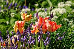 My garden ( Annieta ) Tags: netherlands spring sony nederland april lente allrightsreserved 2016 krimpenerwaard annieta a6000 usingthispicturewithoutpermissionisillegal