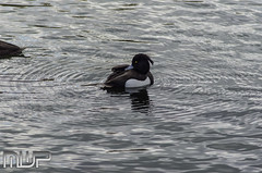 DSC_3104 (mikewarnerphotography) Tags: duck grove carshalton mwp