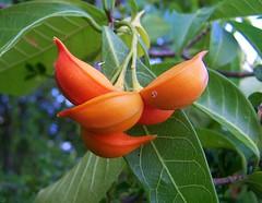 Tabernaemontana orientalis (Oriolus84) Tags: orange plant fruit shaped australia banana queensland apocynaceae curved arcadia magneticisland townsville tabernaemontana geoffreybay tabernaemontanaorientalis iodinebush easterngondolabush