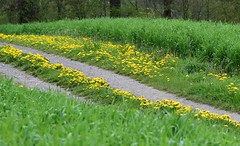 Walking in yellow and green (:Linda:) Tags: germany village path thuringia dandelion brden