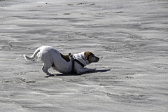 Snaps On Holiday (me'nthedogs) Tags: beach jrt cornwall lizard terrier snaps jackrussell coverack littledoglaughedstories