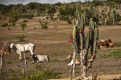 Paisagem do semi rido (brasildagente) Tags: paisagem eds prefs gado semirido pastagem