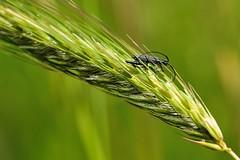 Agapanthia cardui (luporosso) Tags: naturaleza macro nature closeup insect nikon bokeh natura erba insetto insetti spiga naturalmente allaperto abigfave nikond300s