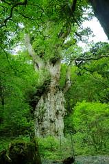 Yakushima #5 (k_t) Tags: green forest cedar yakushima mossy yaku