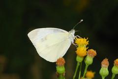 DSC_6372 (Clive Webber) Tags: largewhite pieridae pierisbrassicae