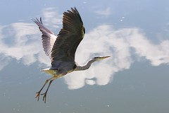 Heron (ufopilot) Tags: cloud castle heron reflections scotland moat bute rothesay