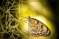 MaximilianPark-Hamm 05 cr (mschelhorn) Tags: flowers animals closeup butterfly bokeh blumen 100mm makroaufnahme af makro f28 schmetterlinge maximilianpark minoltaaf100mmf28makro
