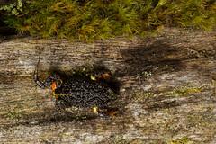 Southern Toadlet (J.P. Lawrence Photography) Tags: australia 2016 pseudophryne toongabbie semimarmorata spring vertebrates myobatrachidae anura travel amphibians victoria amphibia amphibian anuran australia2016 broodfrog frog frogs herp herpetology herps pseudophrynesemimarmorata salientia southernbroodfrog southerntoadlet spring2016 vertebrata vertebrate