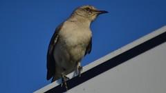Northern mockingbird (michaelf133) Tags: summer eye photography bill nikon texas wildlife beak feather 70300mm creatures birdwatching territory songbird 2016 birdphotography mocker d3100