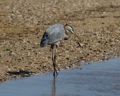 Great Blue Heron eating a Blue Crab (1 of 5)