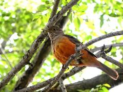 zorzal colorado (supercuervo) Tags: flickrstruereflection1 freedomtosoarlevel1birdphotosonly