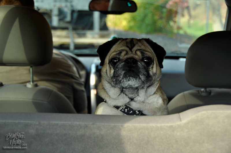 The World's Best Photos of cars and pugs - Flickr Hive Mind