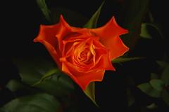 Orange rose (Gerard Koopman) Tags: flores flower rose roos bloemen