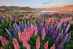 Lupin Delight (Chris Gin) Tags: sunset newzealand lake nz lupin lupine lupins tekapo photocontesttnc12 dailynaturetnc12