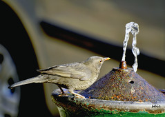 Well water ... (bbic) Tags: park water well commonblackbird mierla