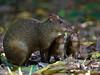 Azara's Agouti (Dasyprocta azarae) (PeterQQ2009) Tags: brazil mammals agouti cutia azarasagouti dasyproctaazarae