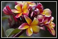 Frangipani Flower-1=