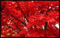Autumn's blaze! (Marcia Portess-Thanks for a million+ views.) Tags: trees red leaves rouge rojo arboles maples redmaple mapletrees ojas flickrduel marciaportess autumnsblaze kitsilanovancouvercanada