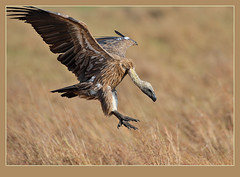Dropped in for lunch! (Rainbirder) Tags: masaimara whitebackedvulture africanwhitebackedvulture gypsafricanus avianexcellence rainbirder