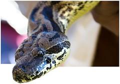 Se sale (AlmaMurcia) Tags: nikon medieval boa mercadillo reptil serpiente caravaca d7000 almamurcia fotoencuentrosdelsureste