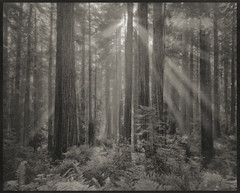 Palladium Print - Redwood Lightrays (Zach Boumeester) Tags: california park light red film del analog digital woods ray state alt arches negative national 4x5 hp5 redwoods process sequoia ilford platinum palladium alternative norte lightray sempervirens altprocess platine platinotype