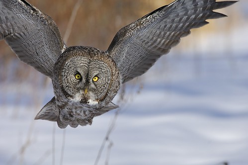 Great Gray Owl photo by Bill Marchel