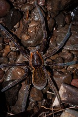 Dolomedes facetus (ROCKnVOLE Photography) Tags: spider wildlife australia queensland invertebrate dolomedes waterspider facetus