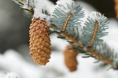 Next Generation Pines (giantmike) Tags: winter snow tree nature pine cone bokeh madison wi uwarboretum canonef100mmf28lmacroisusm