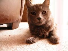 blind and beautiful 2 (sunthistles) Tags: animals cat kitten blind graycat