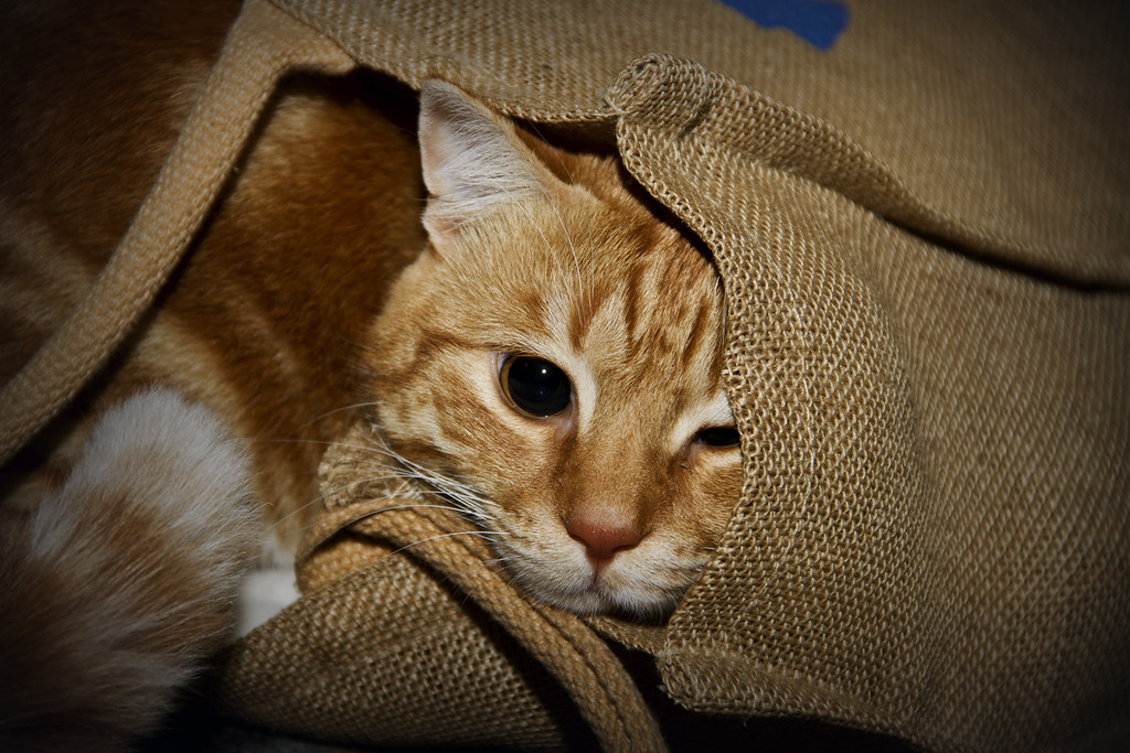 f022a0dbe5 massa  ) (aiman4ik) Tags  playing cute look yellow cat bag persian hide