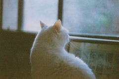 (t-a-r) Tags: lighting blue light white cute film up animal closeup cat vintage kitten soft close fuzzy grain adorable kitty indie filmgrain