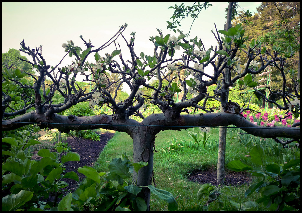 The World's Best Photos of espalier and green - Flickr ...