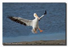 White Pelican (Maya Saraf) Tags: nature birds photography florida pelican sanibelisland whitepelican pelecanusonocrotalus birdphotography jndingdarling birdperfect