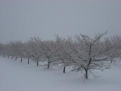 snow yamhill hazelnut (growing hazelnuts) Tags: