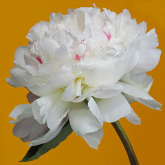 Peony (njchow82) Tags: white plant flower nature closeup peony nancy chow beautifulexpression awesomeblossoms canonpowershotsx30is