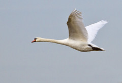 Graceful flyer (Geographyman) Tags: sky bird nature swan wildlife flight norfolkbroads canon7d canon70300mml