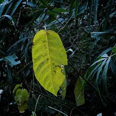 Autumn Leaves with a Casio EX-F1 (3/3) (macpapaja) Tags: autumn macro nature square casio exf1