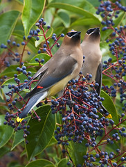 Cedar Waxwing, Bombycilla cedrorum, San Luis Obispo, CA (Donald Quintana Nature Photography) Tags: california blue red wild summer sky food black color tree green bird nature beautiful leaves animal yellow fruit rural daylight fly leaf spring bush branch berries mask eating background space wildlife wing beak tan feather sunny seeds eat cedar perch perched ornithology birdwatching waxwing sanluisobispo waxing avian songbird bombycilla cedrorum berrie