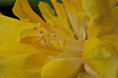 Yellow hibiscus (Deb Jones1) Tags: flowers flower green nature floral beauty garden botanical outdoors 1 jones flora can explore blooms deb flickrduel