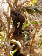 Megalographa biloba (Mathesont) Tags: california yard insect moth lepidoptera noctuidae martinez insecta looper bilobed bilobo megalographa contracostaco