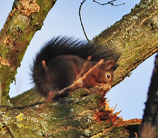 Eichhörnchen, NGIDn1488248450